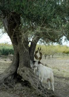 5-capra-girgentana-e-ulivo-presenti-in-sicilia-da-millenni